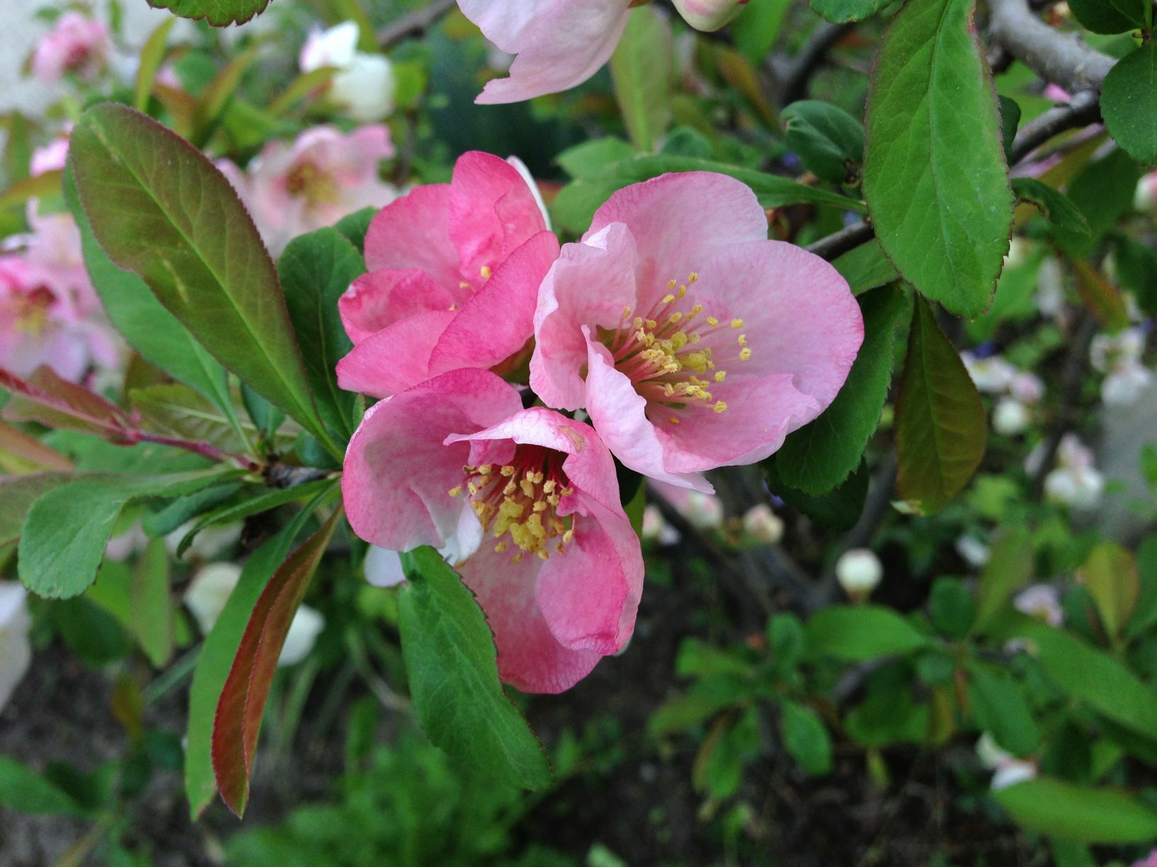 the japanece quince